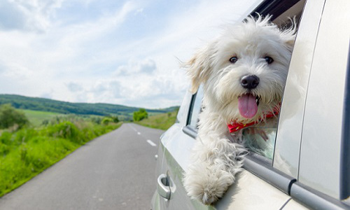 dog with head out of car window